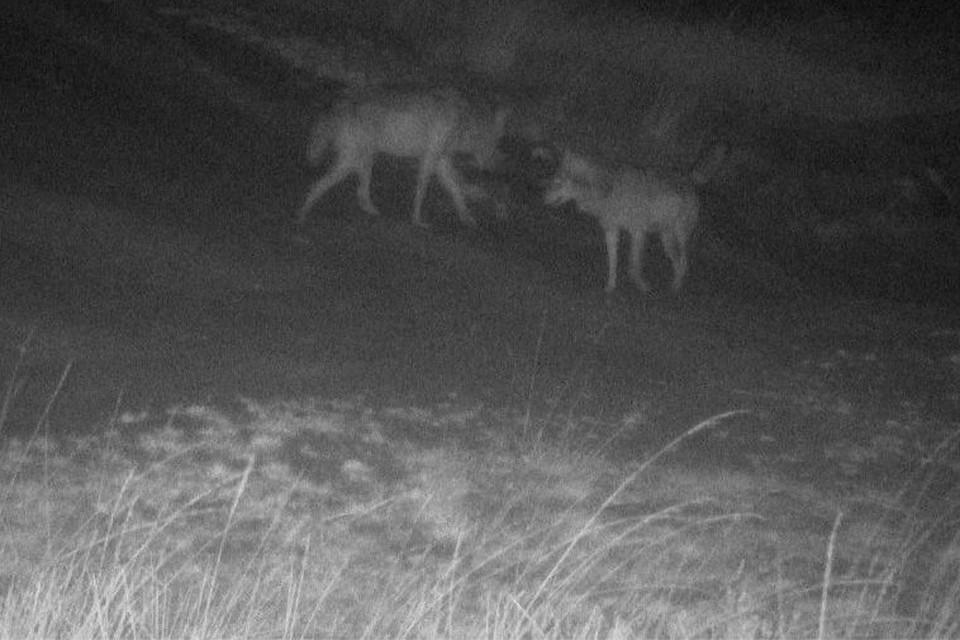 Noëlla en August hebben elkaar al gevonden. Mogelijk loopt er nog een derde dier rond in onze provincie.