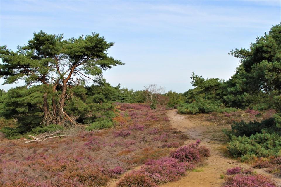 Tenhaagdoornheide, een van de kostbaarste heidegebieden in Limburg.