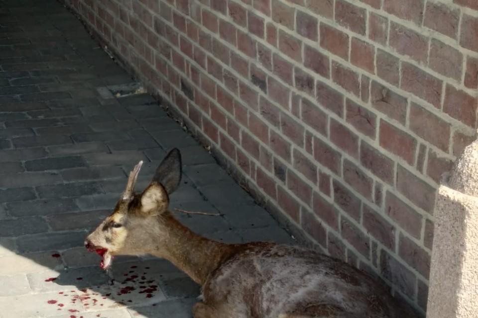 Het gewonde ree werd opgehaald door Animal Rescue uit Sint-Truiden.