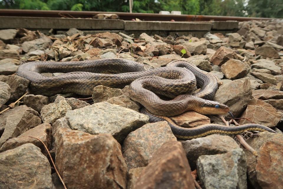 Er zijn intussen al meer dan honderd meldingen binnengekomen van de Chinese prachtslang rond het spoor in Hasselt.