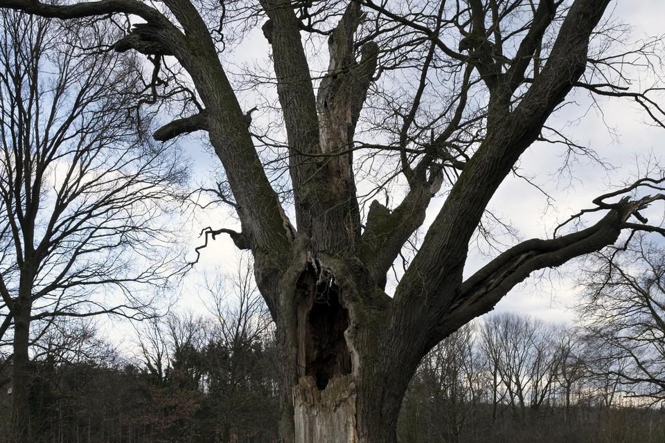De duizendjarige eik in Lummen.Aan de stam hangt nog steeds een klein kapelletje. De boom is omheind met houten palen, zodat niemand trappelt op het wortelsysteem dat de fragiele stam in leven moet houden.