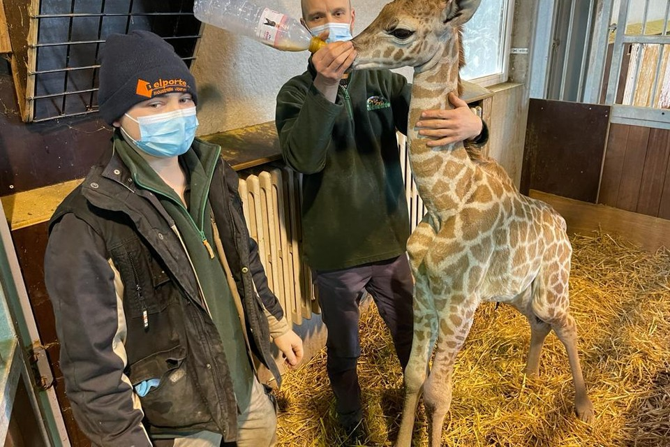 De dierenverzorgers zonderden het girafje veilig af en gaven de eerste melk.