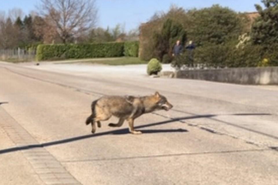De foto is gemaakt op 31 maart 2020, enkele uren nadat de wolf het Albertkanaal had gekruist.