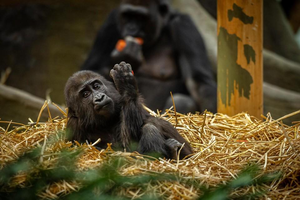 In Zoo Antwerpen en Zoo Planckendael halen ze opgelucht adem. Geen enkel van hun zoogdieren is besmet met Covid 19.
