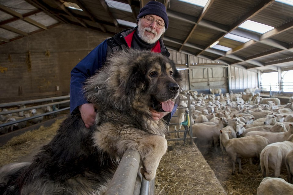 """""""Boss is een Macedonische herder van bijna 70 kg. Het enige wat hij doet is de schapen beschermen"""", zegt Johan Schouteden."""
