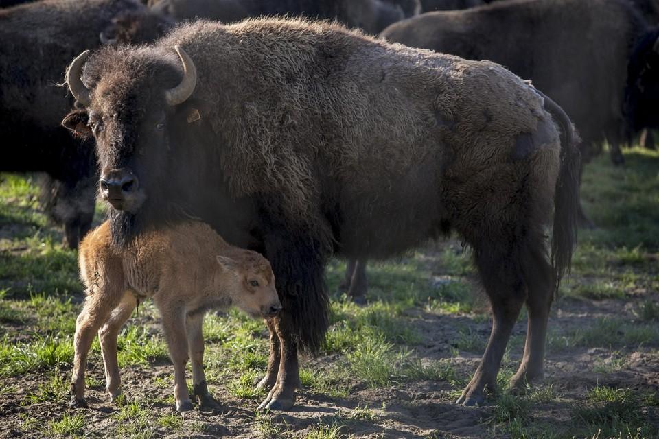 Themabeeld bizon.