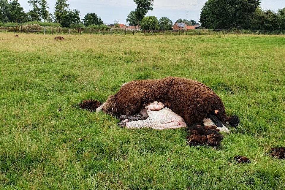 Bij een wolvenaanval in Reppel werden drie schapen door de wolf gepakt.