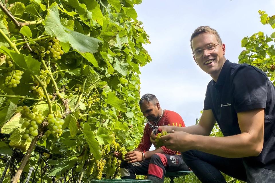 In wijndomein Hoenshof in Borgloon werd begin deze week al gestart met de pluk van druiven voor mousserende wijn.