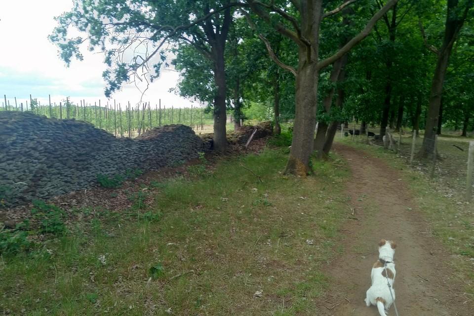 De wijnmuur in gestapelde ijzerzandsteen op het plateau van de Wijngaardberg in Wezemaal.