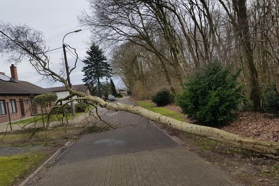 In de fazantenstraat in As waaide een grote boom om