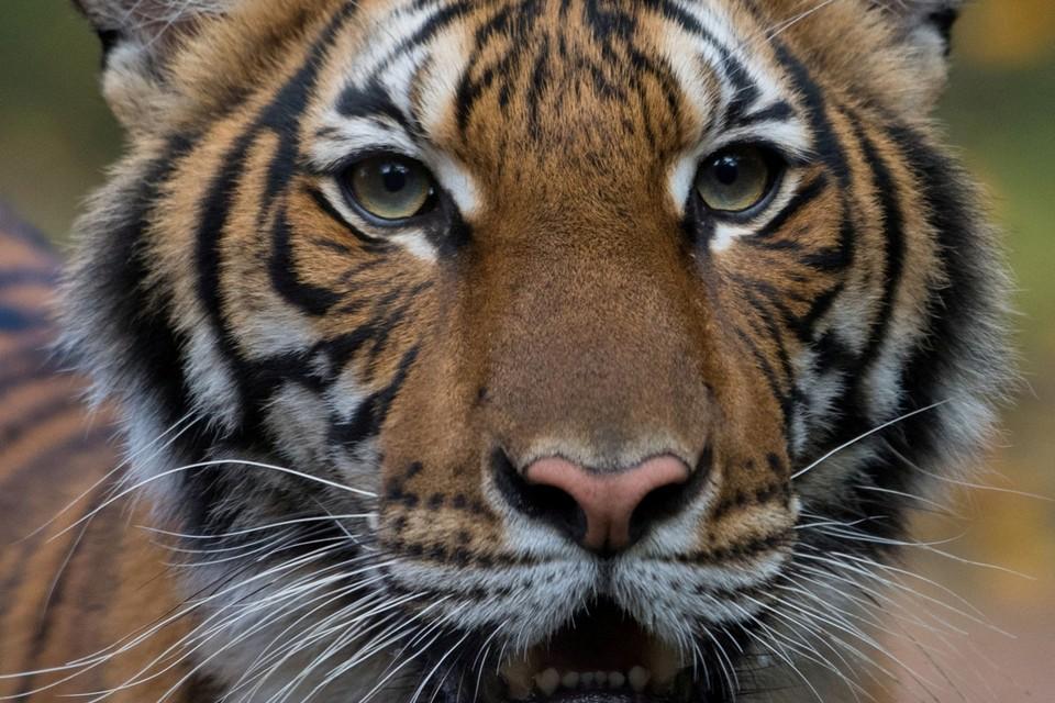 Ook tijgers zijn niet veilig voor het nieuwe coronavirus