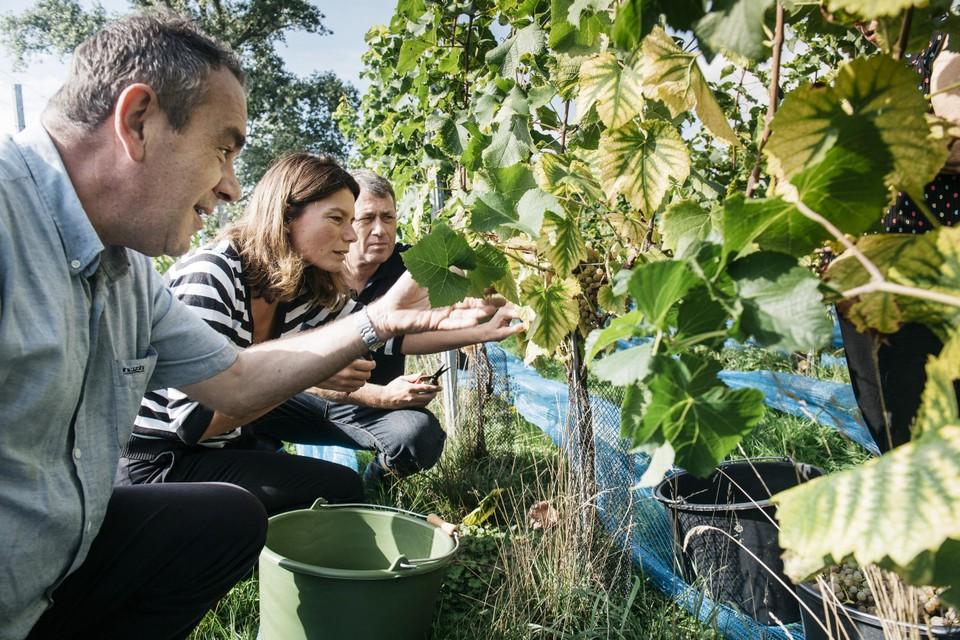 Het aantal Vlaamse wijnboeren gaat sterk de hoogte in.