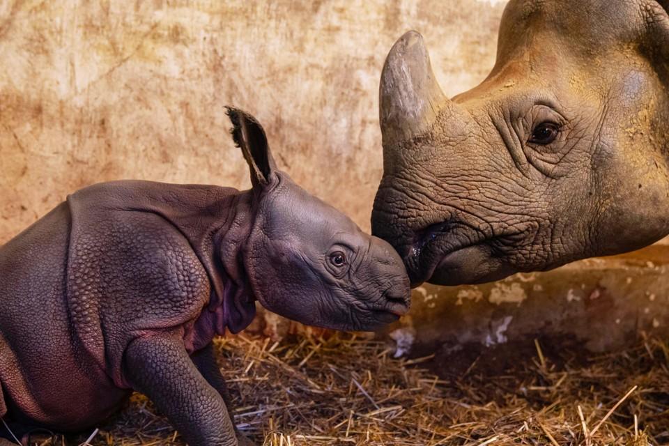 Donderdag kwam deze kleine neushoorn op de wereld na 16 maanden zwangerschap.